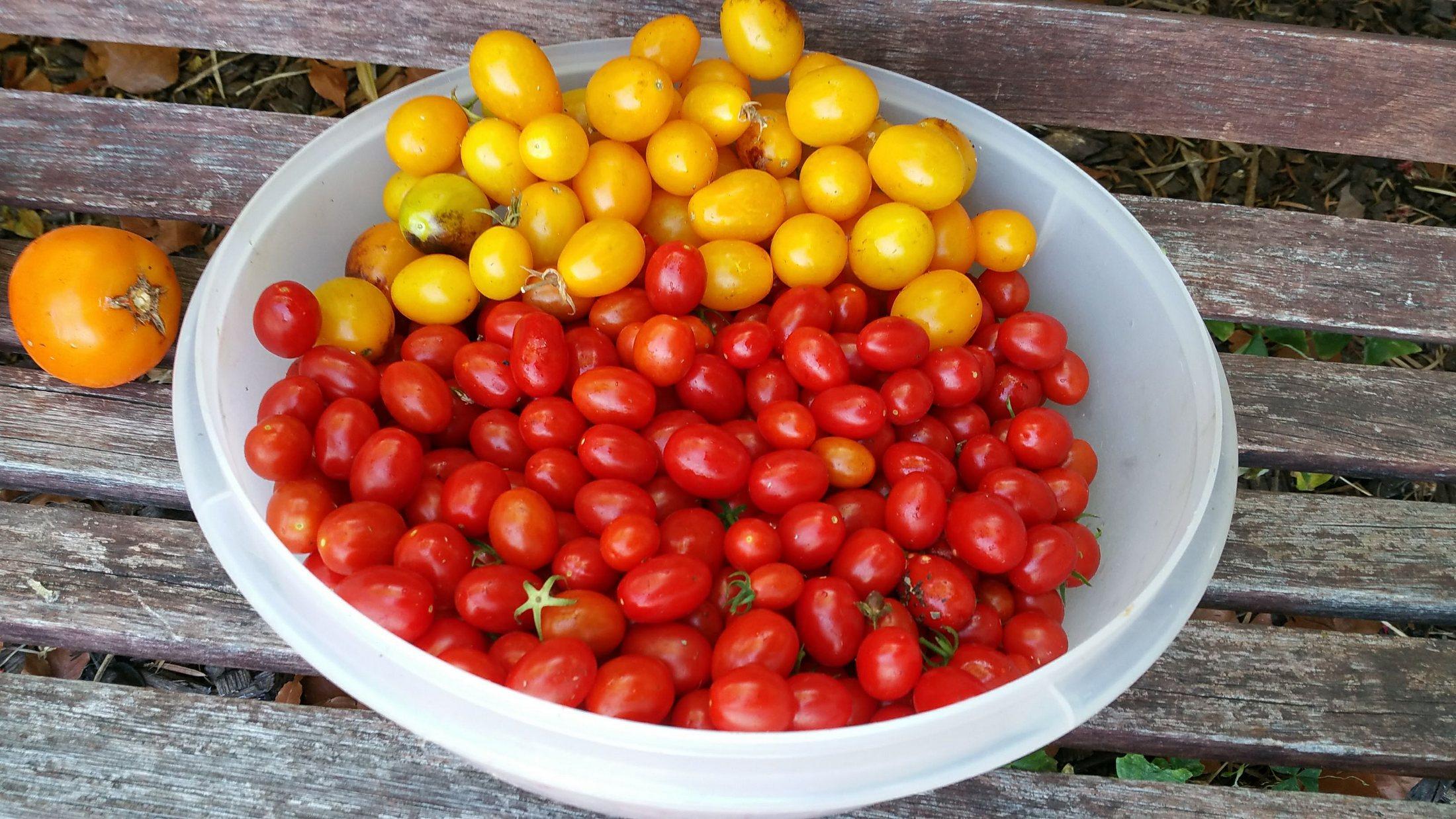 photo of valentine tomato harvest