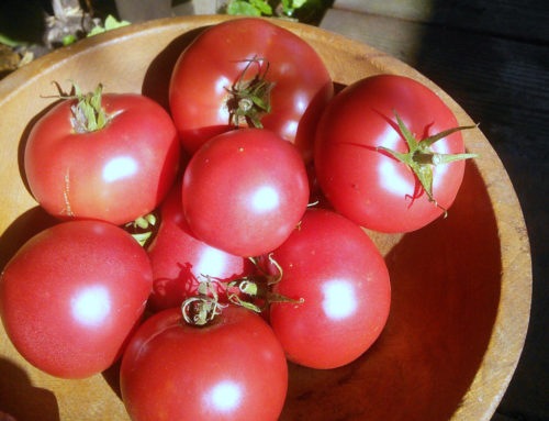 "Video: ""Happy Red"" Japanese Tomato"