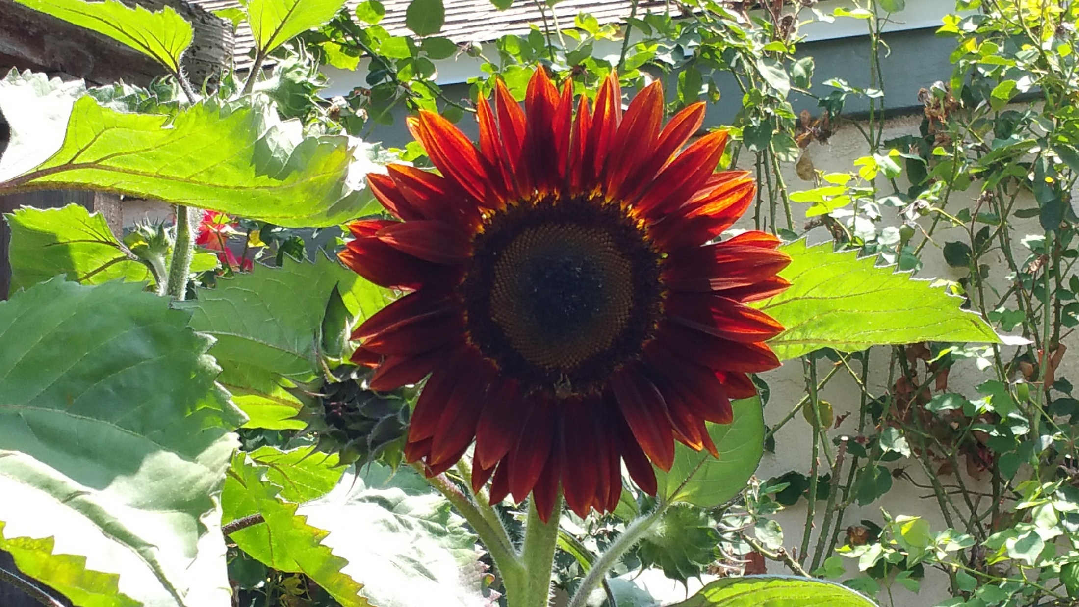 Photo of Moulin Rouge red sunflower