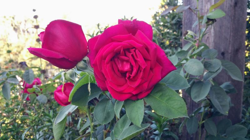 photo of a red rose in the garden