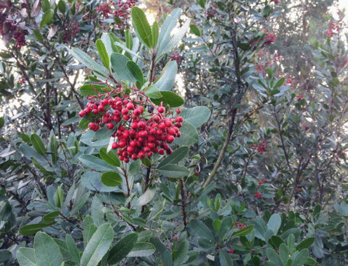 Photo of the Day: Toyon – Christmas Berry