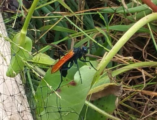 Photo of the Day: Tarantula Hawk