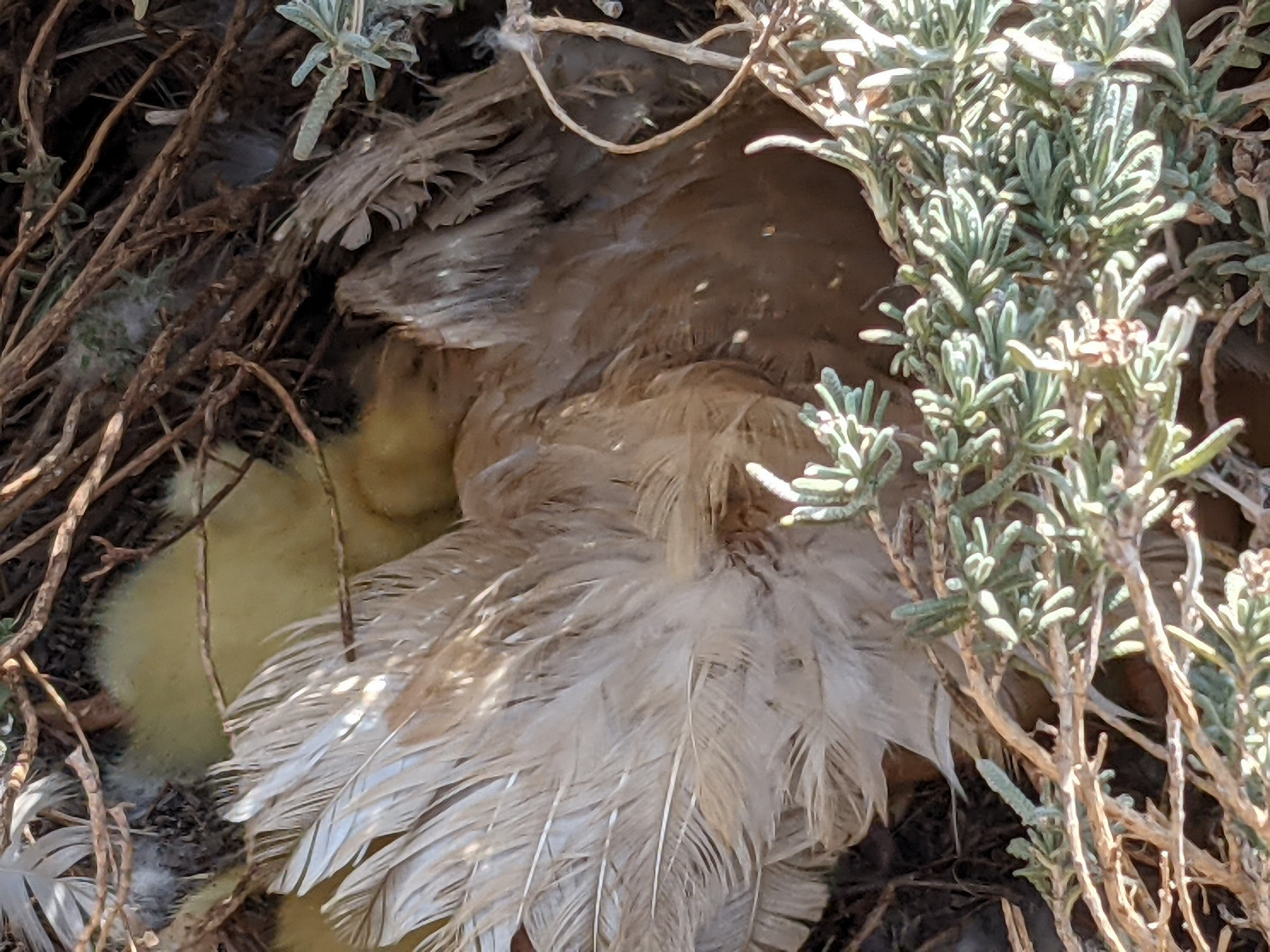 Duck and ducklings in a nest