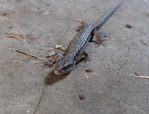 Live Alligator in the Garage