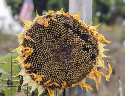 The Gorgeous Symmetry of the Sunflower